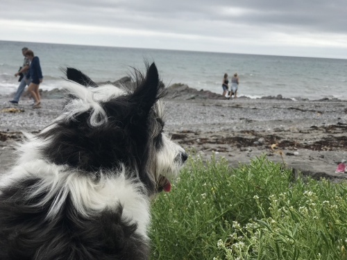 Dog watching at Downderry beach